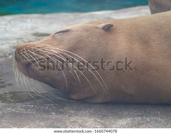 Seal face that is likely to have a good dream during a nap