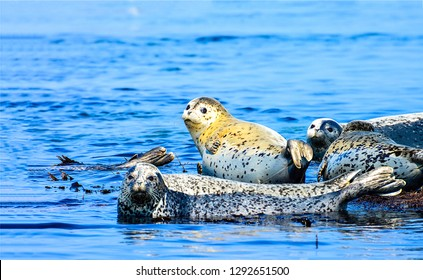 Seal family. Phoca largha. Seal in water. Seal largha group photo