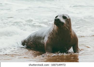 Seal funny animal on Grenen seaside in Denmark phoca vitulina wildlife ecology protection concept arctic sealife