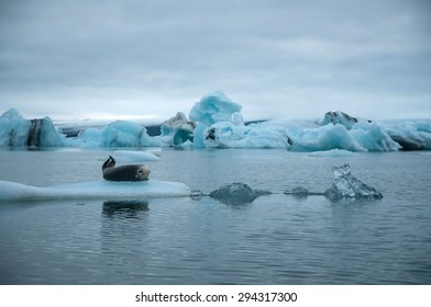 seal in glacier lagoon in iceland