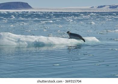 Seal at the Glacier, Northern Greenland