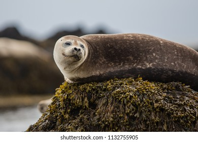 Seal hair, harbor (Phoca vitulina) in Iceland, close up view, cute animals in summer time, near a sea, ocean, wildlife photo