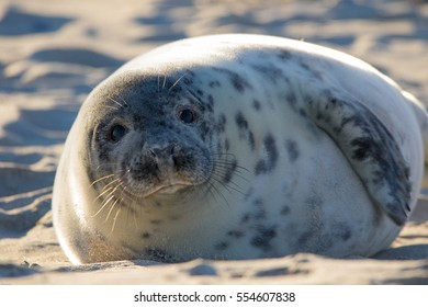 Seal Helgoland