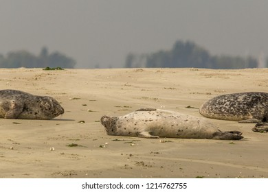 A seal laying on it's back on a sandbank in nature reserve the Oosterschelde in the Netherlands