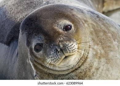 seal (Leptonychotes weddellii) resting on sea ice
