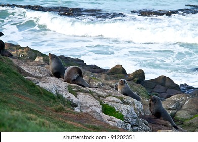 seal lion new zealand