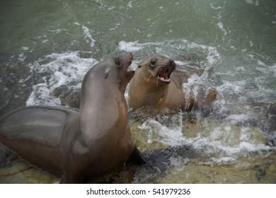 Seal Lions Territorial Dispute