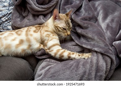 A Seal mink Bengal kitten kneading on her favourite blanket