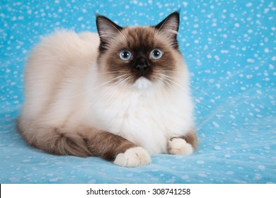 Seal Mitted Ragdoll kitten lying down on blue background