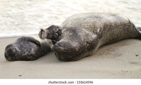 seal mother with baby on back