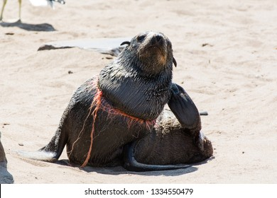 A seal with a noose around his neck, victim of human sea pollution, Cape Cross, Skeleton Coast, Namibia, Africa.