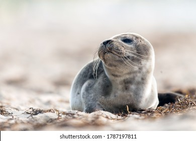 Seal on the beach on the Baltic Sea