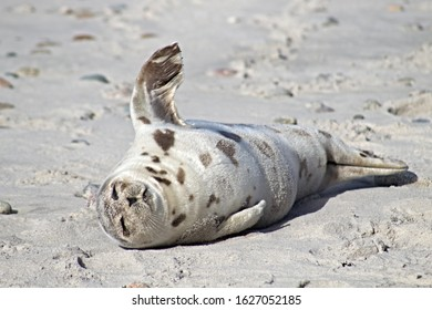 Seal on the beach in cape cod