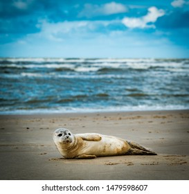 Seal on beach in the Netherlands