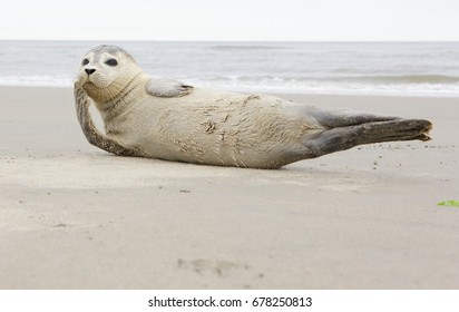 seal on beach, north sea
