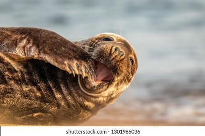 Seal on Horsey Beach, Norfolk, UK