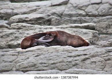 Seal on rock in Kaikoura, New Zealand