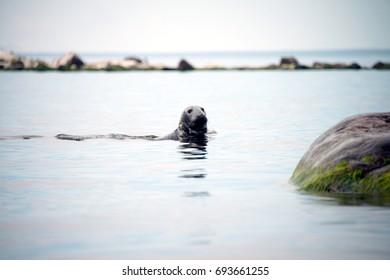 Seal on the scandinavian cold sea
