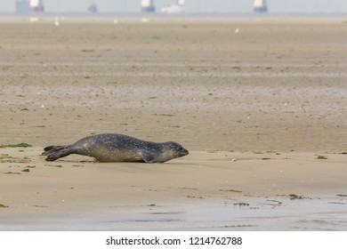 A seal on it's way to water in nature reserve the Oosterschelde in the Netherlands