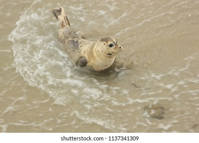 Seal Playing in the Surf