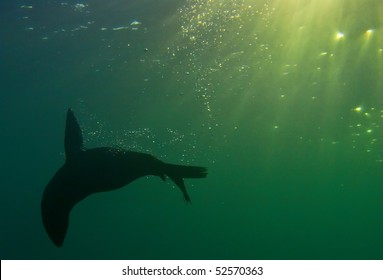 a seal plays underwater in south africa