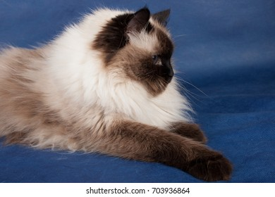 Seal point mitted Birman cat