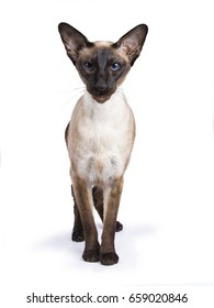 Seal Point Siamese cat standing on white background looking at camera