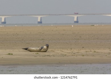 A seal posing on a sandbank in nature reserve the Oosterschelde in the Netherlands with the zeeland bridge in the background