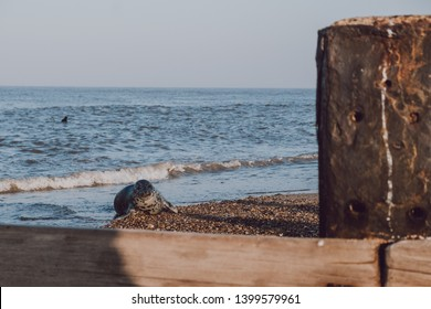 Seal pup basking in the sun by the water on Horsey beach, Norfolk, UK, in spring.