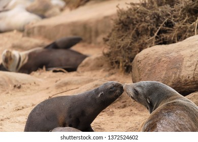 Seal pup identifies it's mom by a sniff, kiss