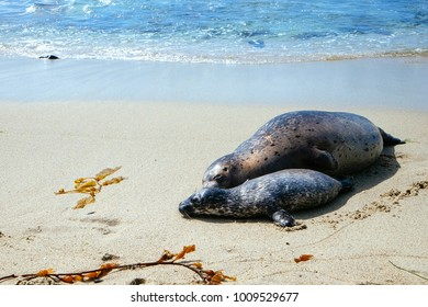 Seal Pup and Mom are lying on Californian beach