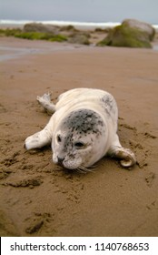 Seal Pup on an Oregon Beach. Harbor Seal pups spend much of their time out of the water on beaches warming up or resting while their moms are away feeding, sometimes for up to 48 hours.