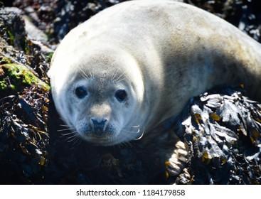 Seal pup; Scotland