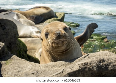 A seal puppy on the beach -. La Jolla, California