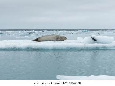 Seal relaxing on a floating iceberg in Jokulsarlon glacial lagoon, Iceland