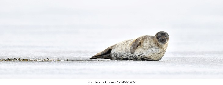 Seal resting on an ice floe. Ringed seal (Pusa hispida or Phoca hispida), also known as the jar seal, as netsik or nattiq by the Inuit, is an earless seal inhabiting the Arctic and sub-Arctic region.