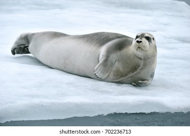seal rests on edge of ice floe in norwegian arctic waters