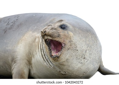 Seal screams isolated on the white background