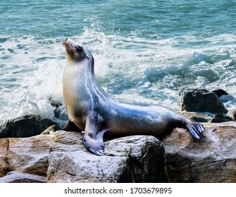 Seal. sea lion posing on a rock in the reefs