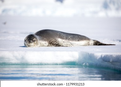 seal and sea lion sitting on a rock in the sun in the antarctica by the ocean