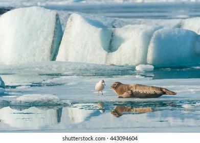 seal and seagull in Jakulsarlon lagoon