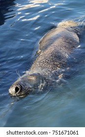 Seal swimming in coastal waters off the Lizard in Cornwall.