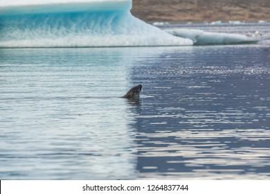 Seal swimming in glacier lagoon Jokulsarlon in Iceland