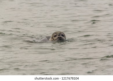 A seal swimming with head above the water and looking into the camera in the  Oosterschelde in the Netherlands. The seal has sand in its fur