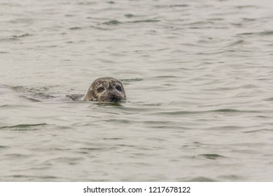 A seal swimming with head above the water in the  Oosterschelde in the Netherlands. The seal has sand in its fur