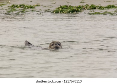 A seal swimming with head and tail above the water in the  Oosterschelde in the Netherlands. The seal has sand in its fur