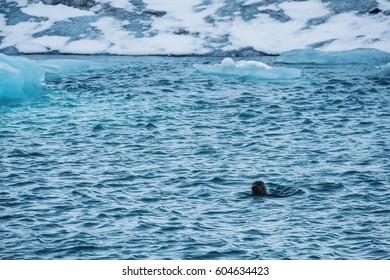 Seal swimming ocean in winter