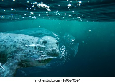 Seal trapped in a plastic bag. Pollution in oceans concept.