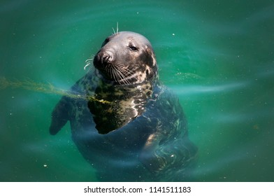 Seal in the water of  Howth harbor