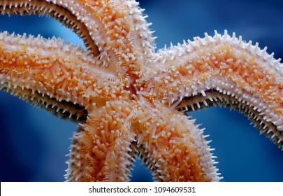 Sealife: common starfish (common sea star) underside, closeup shot, nature sealife abstract